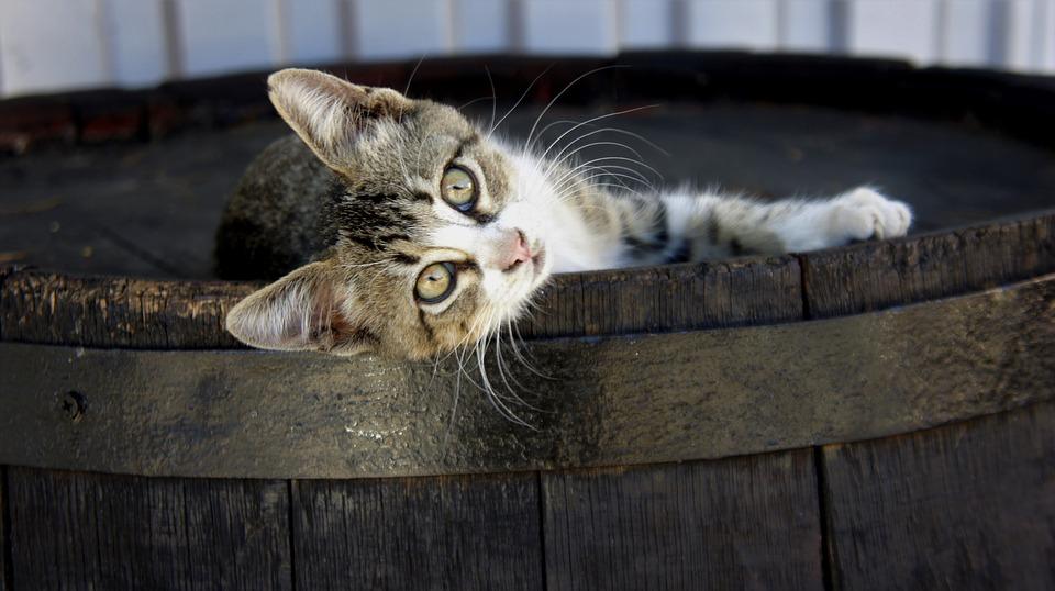 cat-2348997_960_720